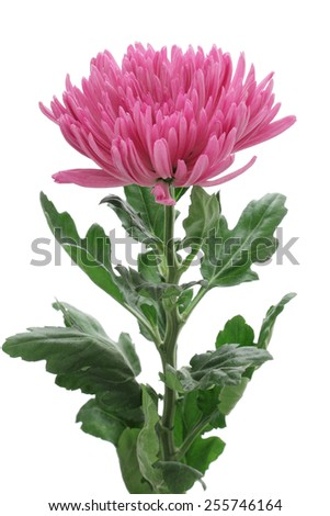 Chrysanthemum anastasia  isolated on white background - stock photo