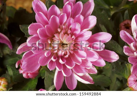 Chrysanthemum - autumn flower decorative