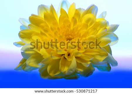 Chrysanthemum, backgrounds webdesign.