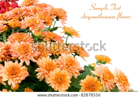 chrysanthemum blooms on white background with room for text - stock photo