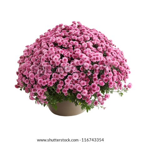 Chrysanthemum bush cultivar Belgo Lilac isolated on white - stock photo