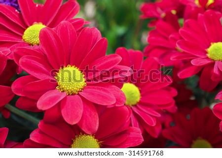 Chrysanthemum Deep Red 3