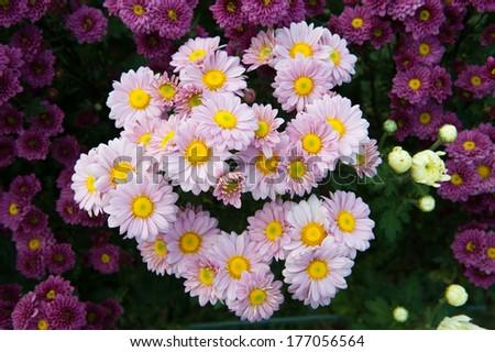 Chrysanthemum flower  - stock photo
