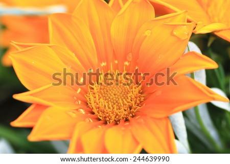Chrysanthemum flower and raindrop,beautiful orange chrysanthemum flower in full bloom in the garden - stock photo
