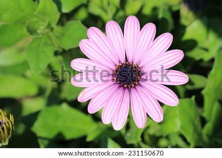 Chrysanthemum flower,closeup of purple with white Chrysanthemum flower in full bloom - stock photo