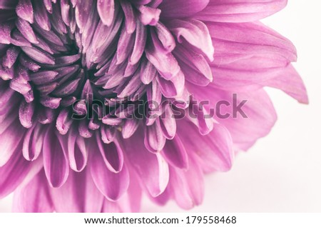 Chrysanthemum flower macro flower in the nature or in the garden - stock photo