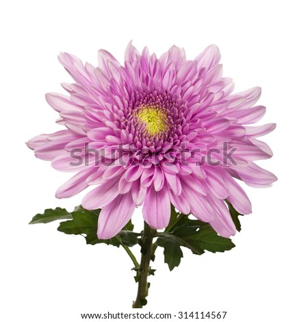 chrysanthemum flower on stem with leaves isolated white background