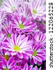 Chrysanthemum flower, Pink flower in garden. - stock photo