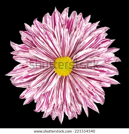 Chrysanthemum Flower White and Purple Petals with Yellow Center  Isolated on Black Background - stock photo