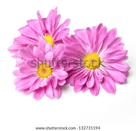 chrysanthemum 3 flowers - stock photo