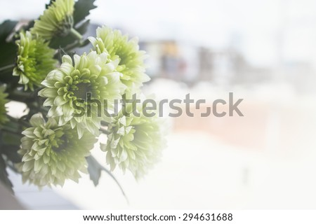 Chrysanthemum flowers,closeup of green and white Chrysanthemum flowers in full bloom  and blur backgrounds concept - stock photo