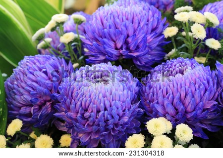 Chrysanthemum flowers,closeup of purple with blue Chrysanthemum flowers in full bloom - stock photo