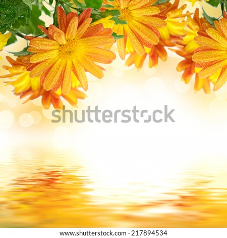 Chrysanthemum  flowers frame on the white with colorful bokeh and water reflection, floral background - stock photo