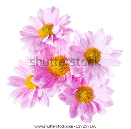 Chrysanthemum flowers heads with rain drops isolated on white shoot from above - stock photo