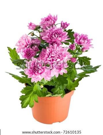 Chrysanthemum flowers in a flowerpot - stock photo