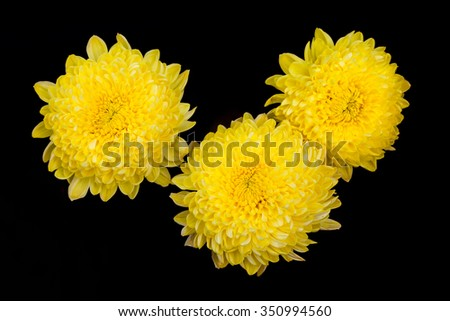 chrysanthemum flowers isolated on black - stock photo