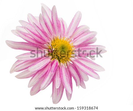 chrysanthemum isolated on a white background