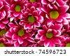 chrysanthemum Lisboa - stock photo