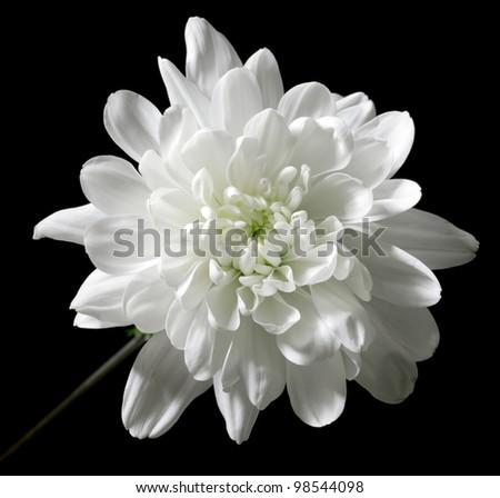 chrysanthemum on a black background - stock photo
