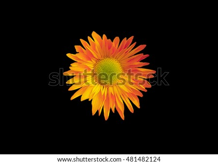 Chrysanthemum on a black background . orange flower .