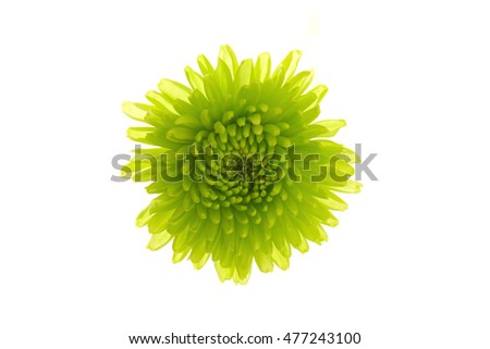 chrysanthemum on a white background