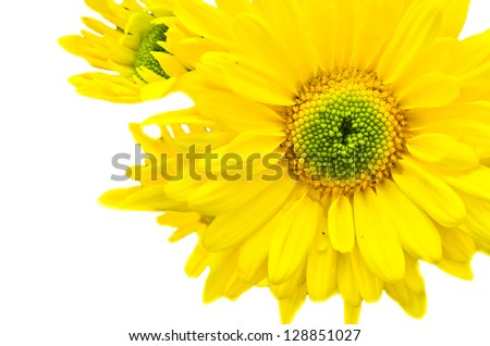 chrysanthemum  on white background.