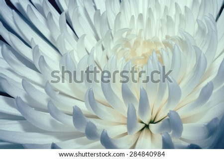 Chrysanthemum with white and blue petals - stock photo
