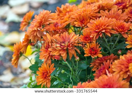 Chrysanthemums in the garden.