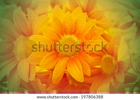 Chrysanthemums,pink floral background
