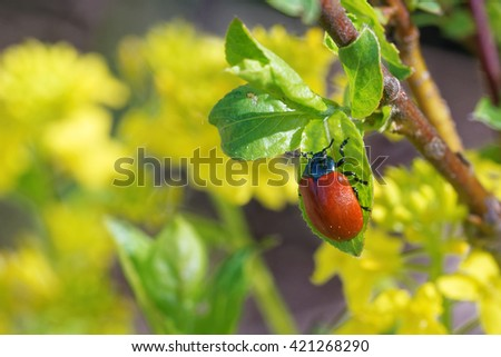 Chrysomela populi is a species of broad-shouldered leaf beetles belonging to the family Chrysomelidae. - stock photo