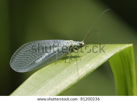 Chrysopidae-insect Green Lacewing (carnea chrysoperla) almost one with his environment but the sunshine tells more