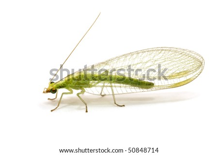 Chrysopidae-insect Green Lacewing isolated on white - stock photo