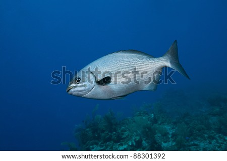 Chub (Kyphosus sp.) swimming over a tropical coral reef off the island of Roatan, Honduras.