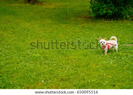 Good Chihuahua Chubby Adorable Dog - stock-photo-chubby-light-brown-short-hair-chihuahua-canis-familiaris-dessed-up-stand-on-fresh-grass-field-650095516  Graphic_944179  .jpg