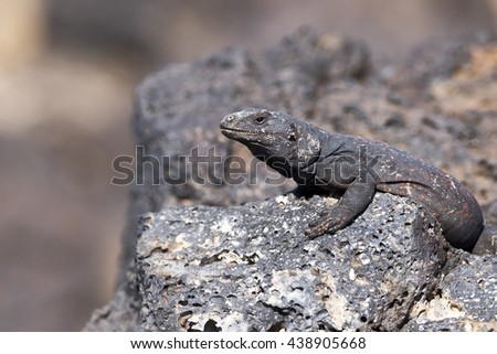 Chuckwalla Lizard sunning on lava rock.