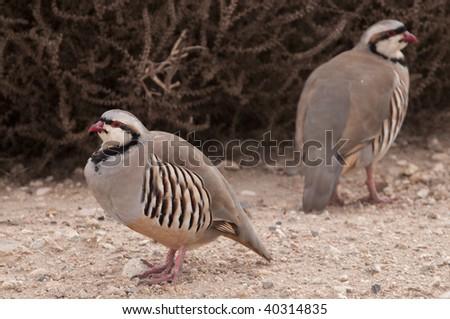 Chukar by World Center of Birds of Prey in Boise, Idaho - stock photo
