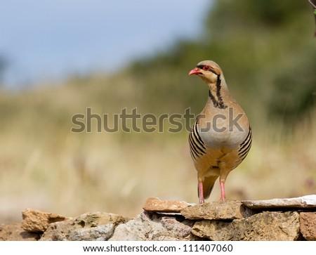 Chukar Partridge (Alectoris chukar) at Sounio cape, Greece - stock photo