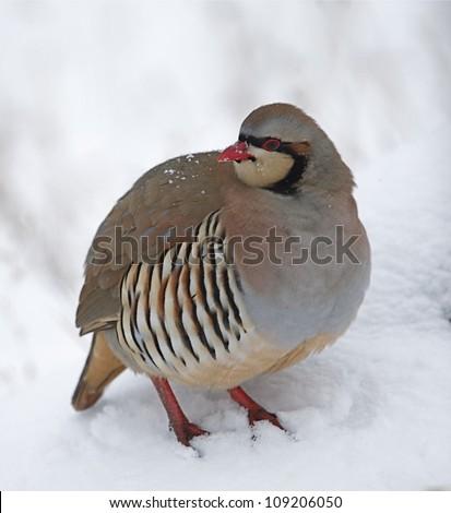 "Chukar Partridge in Snow, northern Washington, near the Canada border; pacific Northwest wildlife / bird / nature; ""The National Bird of Pakistan"" - stock photo"