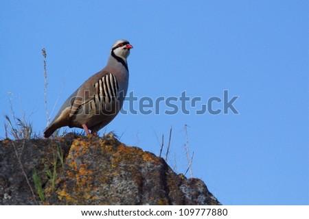 "Chukar Partridge on rock with a blue sky background, in northern Washington, near the Canada border; ""The National Bird of Pakistan"" - stock photo"