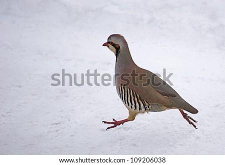 "Chukar Partridge running on snow with legs extended, northern Washington, near the Canada border; ""The National Bird of Pakistan"" - stock photo"
