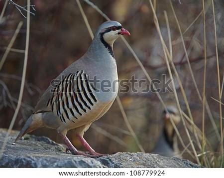 "Chukar Partridges in rocky habitat, northern Washington, near the Canada border; Pacific Northwest wildlife / bird / nature; ""The National Bird of Pakistan"" - stock photo"