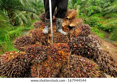 CHUMPORN-THAILAND, NOVEMBER 04: Worker stand on oil palm fruit branch to the truck on Nov 04, 2009, Chumporn, Thailand.