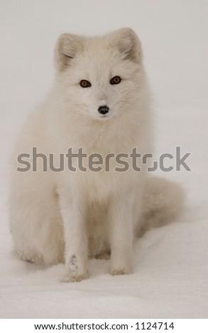 Churchill Northern Manitoba town and surroundings  Arctic Fox - stock photo