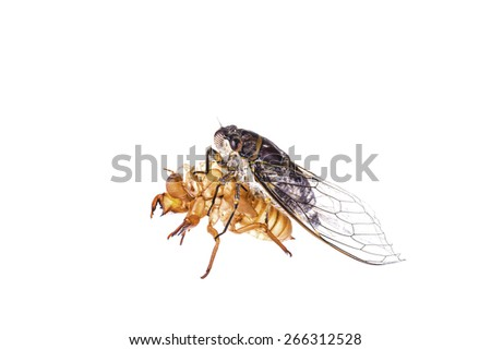 Cicada - stock photo