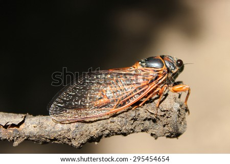 Cicada Bug - stock photo