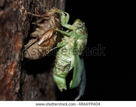 Cicada emerging from its exoskeleton. Part of a series