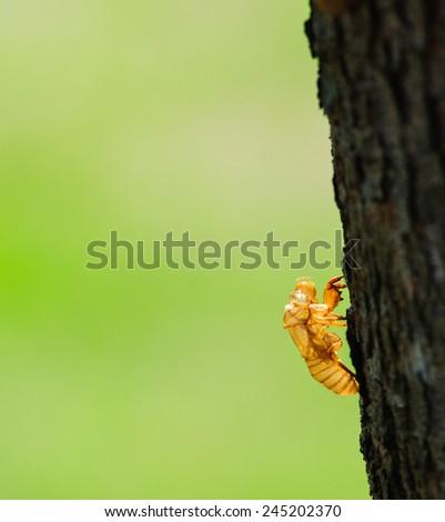 Cicada exoskeleton on a tree bark - stock photo