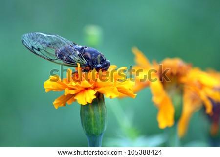 Cicada on a Flower - stock photo