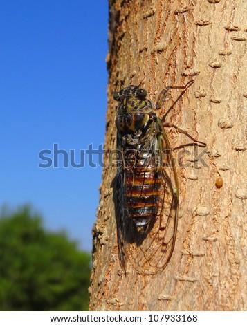 Cicada on tree close up - stock photo