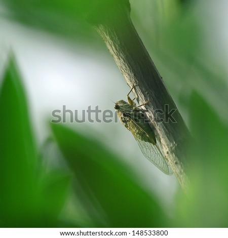 Cicada perched on a stick with a green background  - stock photo